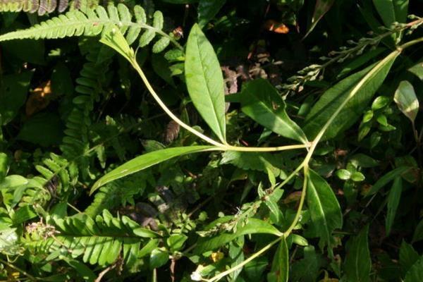 星宿菜 (1)