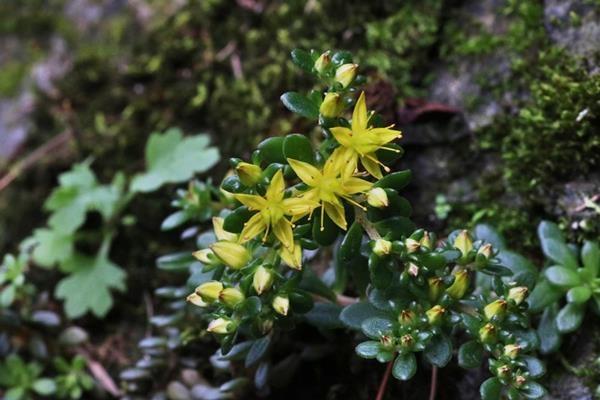 Sedum erythrospermum 紅子佛甲草 (1)
