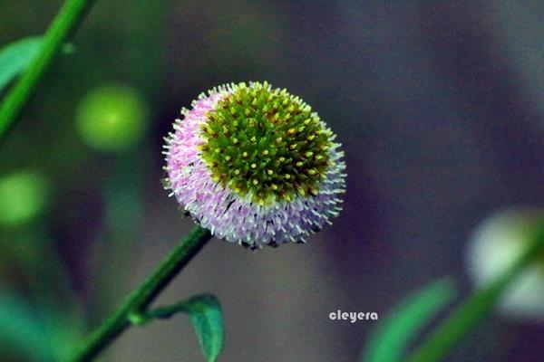 矮菊 (1)