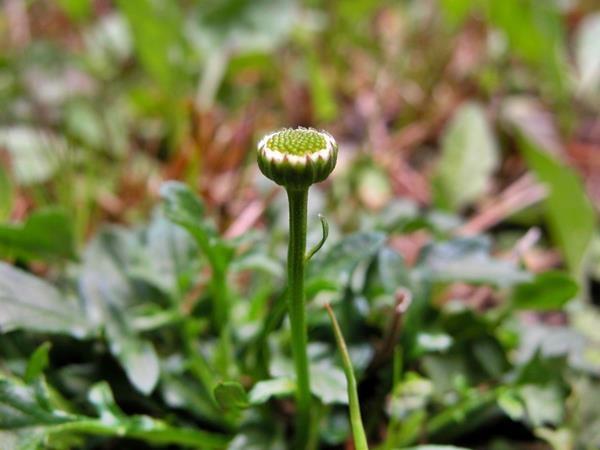 矮菊  (7)