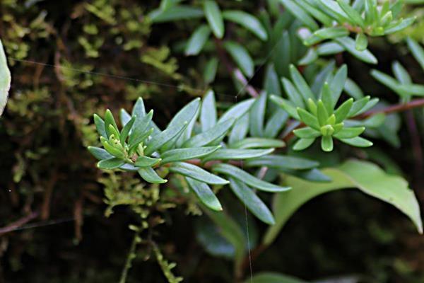 小萼佛甲草 (1)