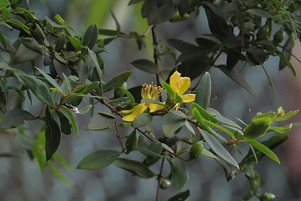 小雙花金絲桃 Hypericum geminiflorum sp. simplicistylum (1)