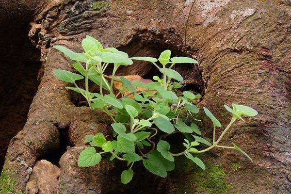 Scutellaria indica 印度黃芩-耳挖草-2.jpg