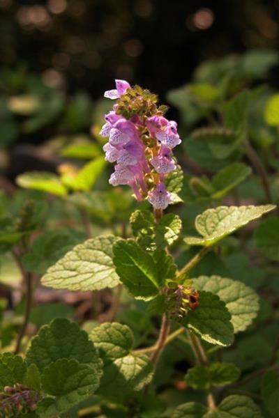 Scutellaria indica 印度黃芩-耳挖草-3.jpg