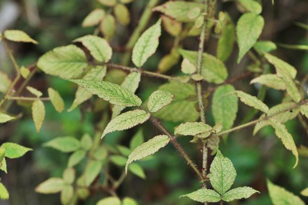 Rubus sumatranus-紅腺懸鉤子-長果懸鉤子 (2).JPG