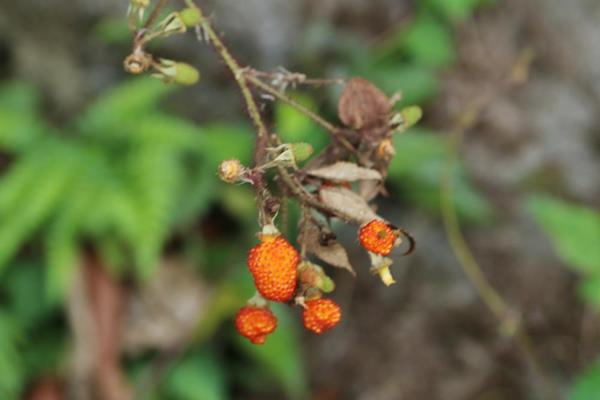 Rubus sumatranus-紅腺懸鉤子-長果懸鉤子  (6).JPG