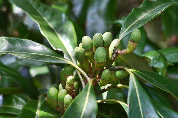 Litsea acuminata 長葉木薑子  (6).jpg