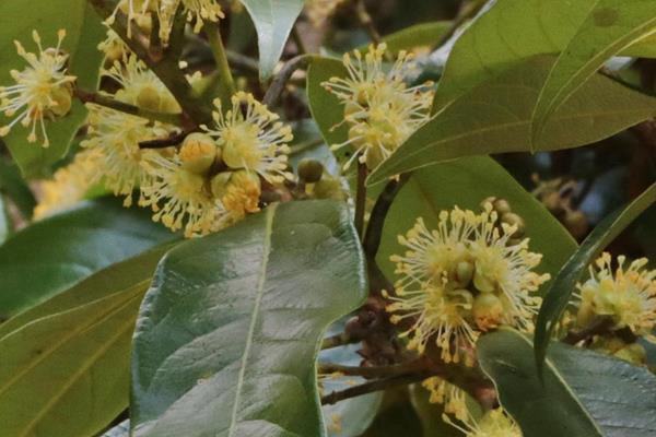 Litsea acuminata 長葉木薑子  (5).JPG