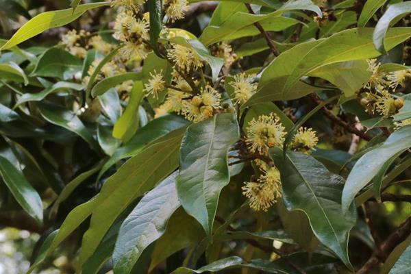 Litsea acuminata 長葉木薑子  (4).JPG