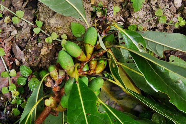 Litsea acuminata 長葉木薑子  (7).JPG
