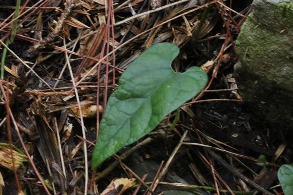 Aristolochia pahsienshanensis 八仙山馬兜鈴 (1).JPG