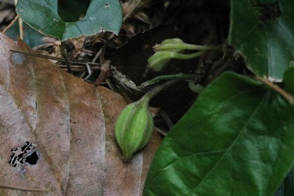 Aristolochia pahsienshanensis 八仙山馬兜鈴  (13).JPG