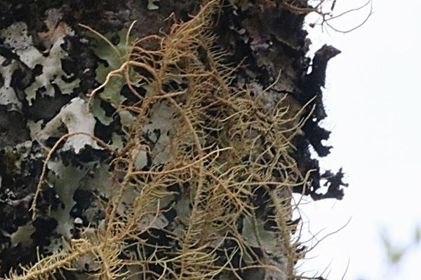 Usnea rubrotincta 紅皮松蘿-赤松蘿 (3).JPG