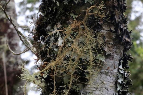 Usnea rubrotincta 紅皮松蘿-赤松蘿 (2).JPG