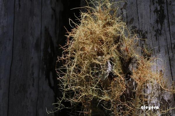 Usnea rubrotincta 紅皮松蘿-赤松蘿 (1).JPG