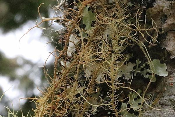 Usnea rubrotincta 紅皮松蘿-赤松蘿 (4).JPG