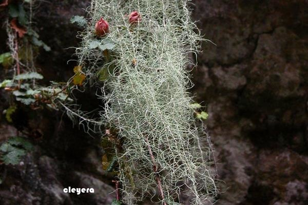 Usnea longissima 長松蘿  (3).JPG
