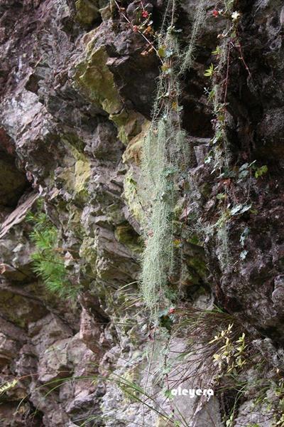 Usnea longissima 長松蘿 (1).JPG