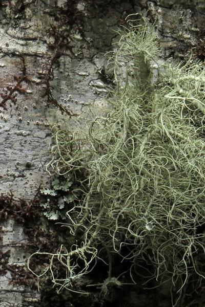 Usnea sinensis 中華松蘿 (3).JPG