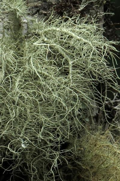 Usnea sinensis 中華松蘿 (2).JPG