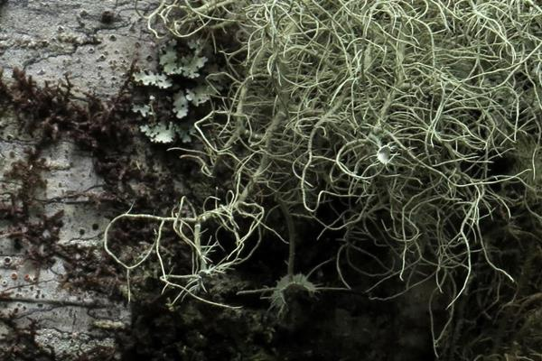 Usnea sinensis 中華松蘿 (7).JPG