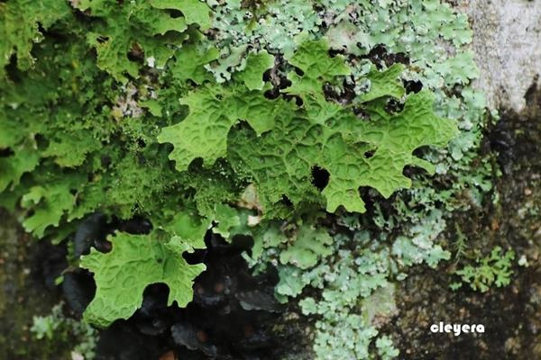 Lobaria spathulata 匙芽肺衣  (2).JPG