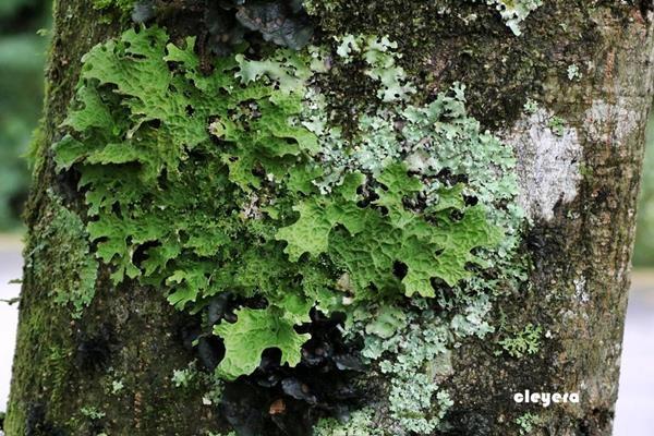 Lobaria spathulata 匙芽肺衣  (1).JPG