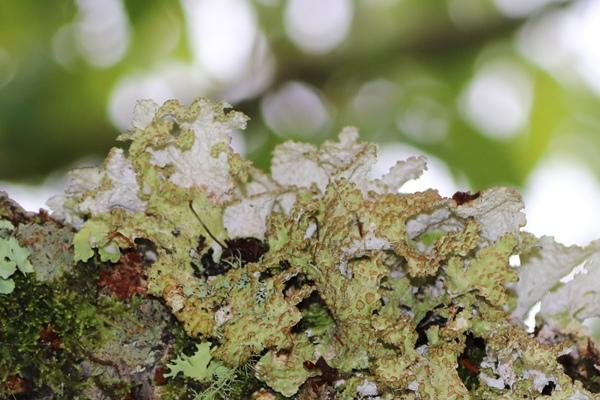 Nephromopsis pallescens 皮革腎島衣  (4).JPG
