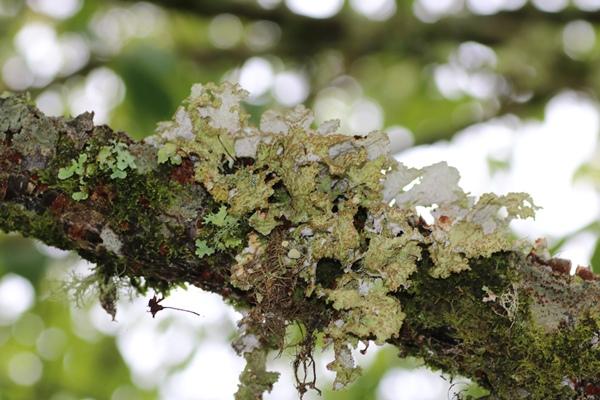 Nephromopsis pallescens 皮革腎島衣 (3).JPG
