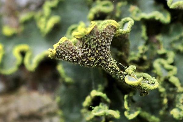 黃假杯點衣 Pseudocyphellaria aurata  (3).JPG