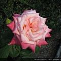 玫瑰園的玫瑰