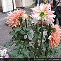 阿姆斯特丹飯店前庭的大理菊