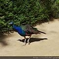 王宮花園內的孔雀
