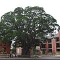 忠義國小校內大榕樹