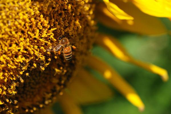 花蜜超多的吧 蜜蜂停很久 採不完