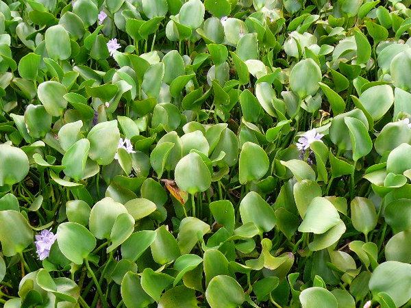 鯉魚潭之水生植物池