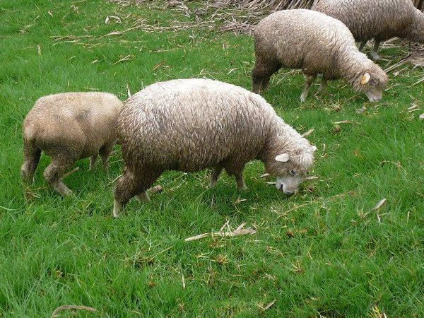 青青草原之小綿羊