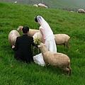 青青草原之小綿羊與新人