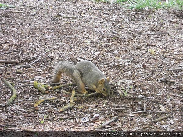 找東西吃的小松鼠