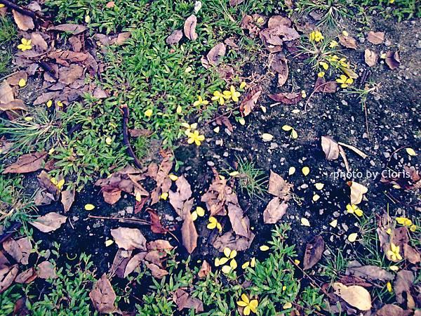 公園裡的落花