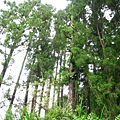 柳杉人工林