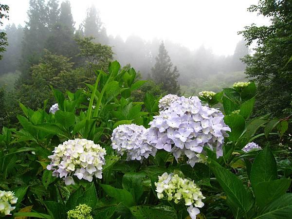 盛開的垂絲海棠