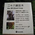 第二十八號神木