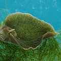 green_sea_slug.jpg