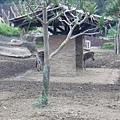 最長的斑馬.jpg