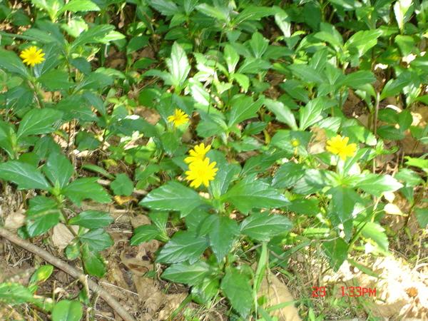 山徑旁小花