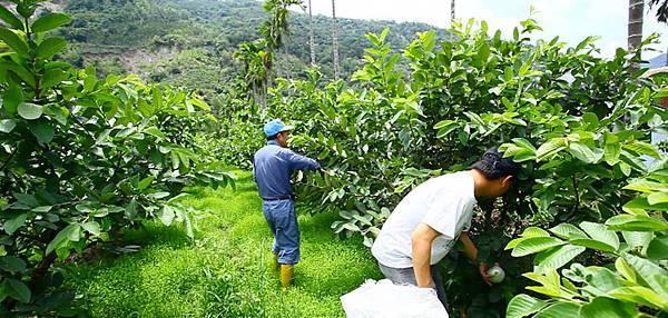 八八水災對六龜農業造成空前破壞,六龜農民愈挫愈勇,不退反進,有意採行友善環境的農法生產安全無毒的農產品(5)