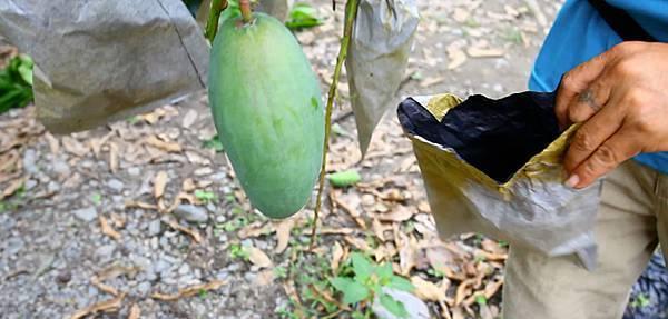 高雄六龜主要農產:金煌芒果(2)