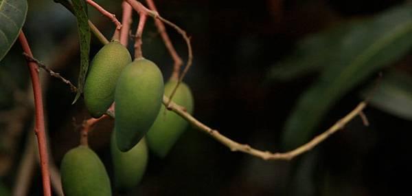 高雄六龜主要農產:金煌芒果(1)