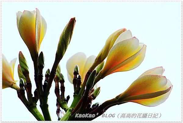 2013-04-25 雞蛋花